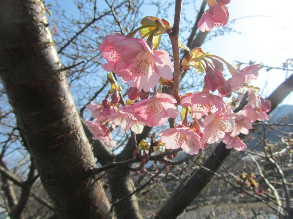 さくら 桜 サクラ 日本画 横尾英子 Japanese painting of cherry blossoms