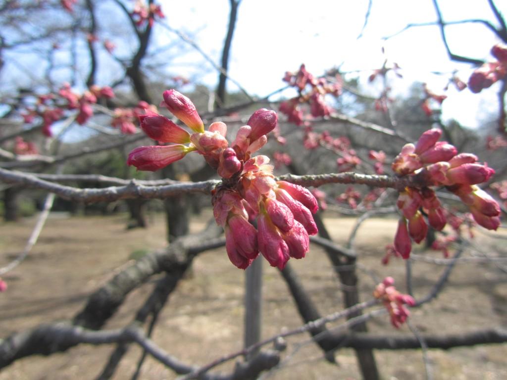 寒緋桜さくら 桜 サクラ 日本画 横尾英子 Japanese painting of cherry blossoms