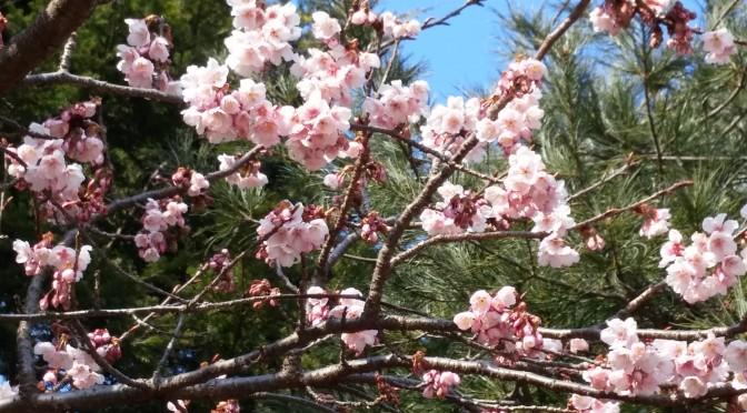 寒桜・スケッチ