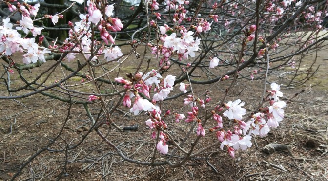 小彼岸桜のスケッチ