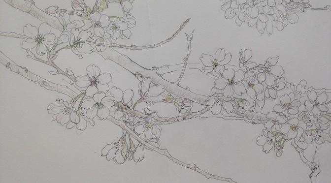 桜の花 ・スケッチ