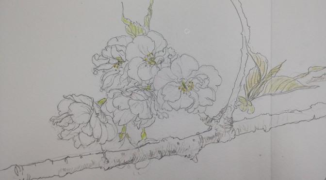 八重桜・白妙のスケッチ