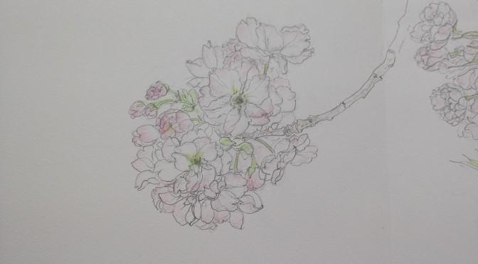 八重桜・福禄寿のスケッチ