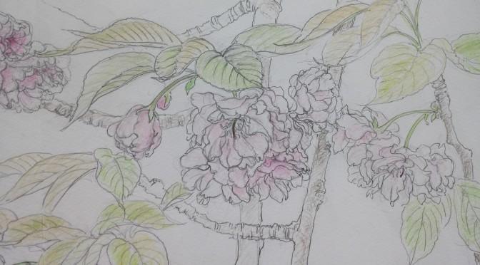 八重桜・関山のスケッチ