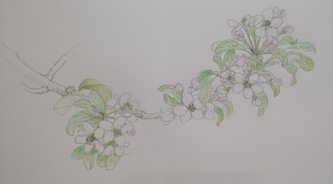 林檎の花・スケッチ