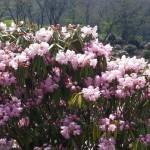 アズマシャクナゲ(浅間高原石楠花園)