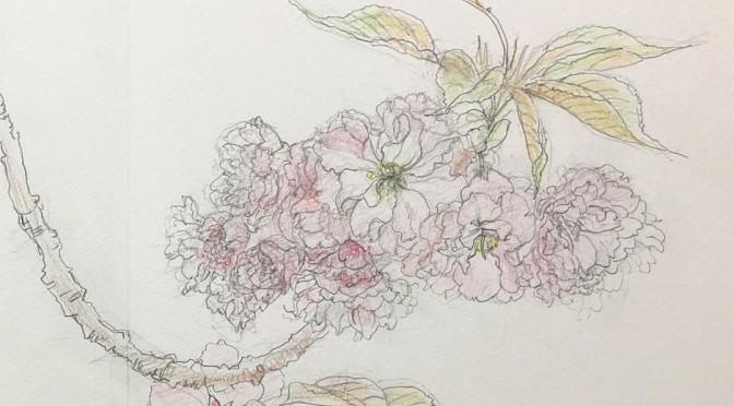 八重桜(関山)